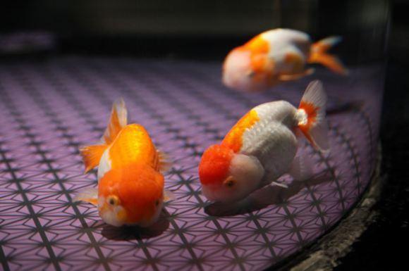 edo-pesci-rossi-01