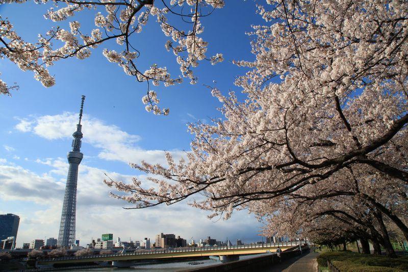 fioritura ciliegi 2019 giappone sakura previsioni