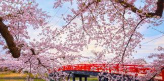 fioritura ciliegi giappone 2019 previsione