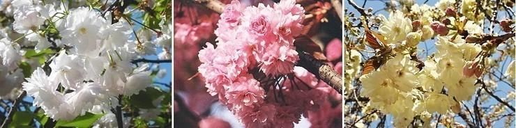 colore dei petali di ciliegio