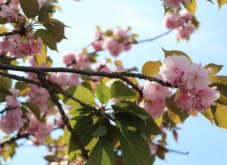 fiori di ciliegio tipo di alberi