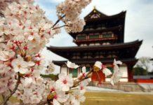 fioritura ciliegi tipi di alberi specie sakura