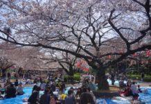 sakura hanami picnic giappone come si fa cosa e
