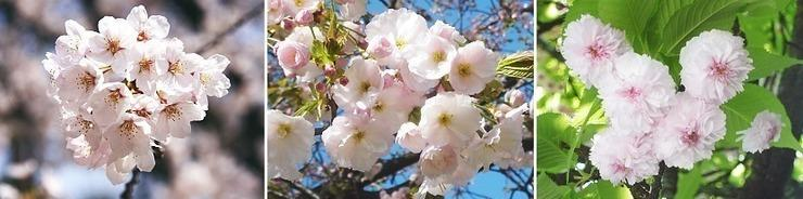 tipi di petali di ciliegio giapponesi
