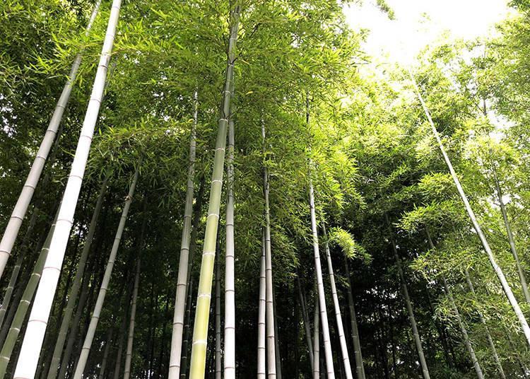 foresta bambu a tokyo