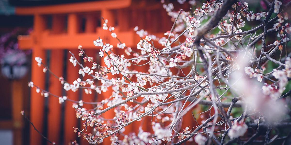 fioritura pruni giappone