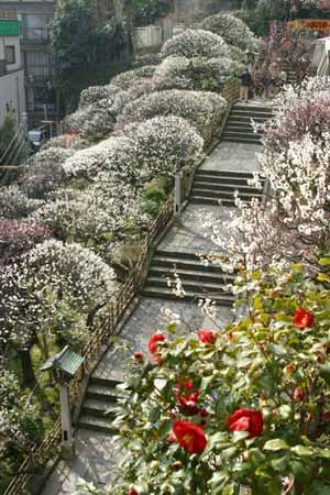 fioritura dei pruni in giappone